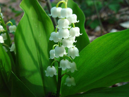 10 White Lily Of The Valley (Convallaria Majalis) Seeds, Rare Exotic Flower Seed - $1.99