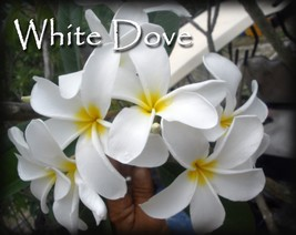 Rare Exotic ~ White Dove~Hawaiian Lei Tree Plumeria Frangipani tip cutting  - $12.00