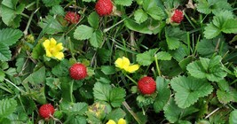 6 Indian Strawberry Starter Plants - $25.98