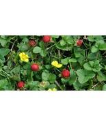 6 Indian Strawberry Starter Plants - $25.98