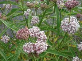 Asclepias fascicularis Narrowleaf Milkweed 10 seeds - $8.38