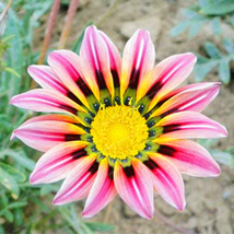 Multi-Color Gorgeous Gazania Rigens Flower Seeds Rare Flower Plant Seeds... - $4.42