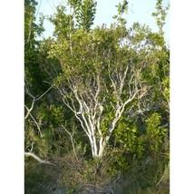 Joewood Rare Tree Jacquinia keyensis 10 Seeds GTL09 - $24.17