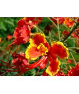 10 seeds - Red Bird of Paradise Caesalpinia Pulcherrima Barbados Peacock... - $17.99