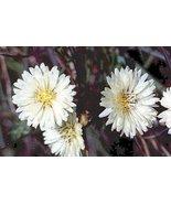 10 seeds - White Dandelion - fresh this season's harvest from my garden - $9.59