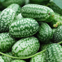 Mexican Mini Sour Gherkins aka Cucamelon (15 seeds) - $8.50