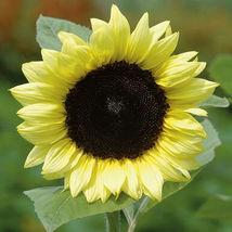 Lemon Sunflower Seed, Sunflower Seeds - $21.00
