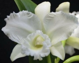 "C. White Reception 4.5"" pot Cattleya Orchid  Plant Blooming Size 1024 - $22.48"