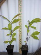 Ann Magnolia shrub/tree image 5