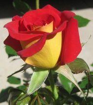 10 Yellow Red Rose Flower Bush Perennia Seeds #STL17 - $15.17