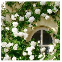 200pcs Climbing White Rose Bonsai Rosa Multiflora Flower Seeds Beautiful Decor - $11.45