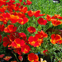 Red Chief Poppy Seeds, Red Chief Poppies, Bulk Flower Seed, Wildflowers 500ct - $19.39