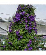 SHIP From US Climbing Snapdragon Vine Violet (Asarina Scandens) 10+Seeds... - $20.99