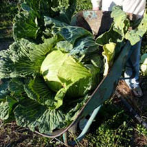 Ship From Us Late Flat Dutch Cabbage Seeds ~ 2 Oz Seeds - Heirloom, Farm, TM11 - $48.96