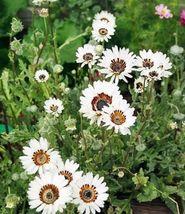 50 White Zulu Prince Cape Daisy Venidium Flower Seeds + Gift & Comb S/H - $11.99