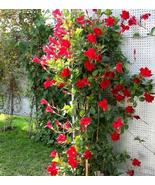 100Pcs Very Elegant Mandevilla Sanderi Seeds Red Flowers IMA1 - $14.99
