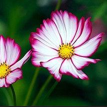 Cosmos Picotee 250 seeds Easy grow border garden I18 Home and Garden - $13.58
