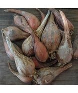 Organically Grown French Grey Shallots for Planting (2 Lbs) - $24.70