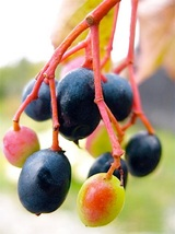 Nanny Berry fruit shrub tree wild raisin Exotic Native LIVE PLANT TkBuckeye - $49.00