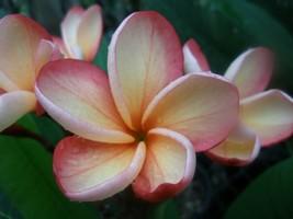 Thong Taweechoke Compact Plumeria frangipani tip cutting Rare Exotic Fra... - $17.95