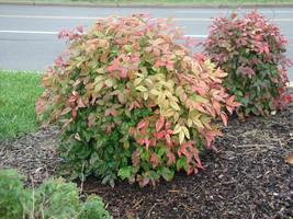 10 Dwarf Nandina Firepower plants (ornamental shrub) image 1