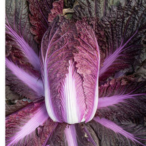 Merlot Chinese Cabbage Seed, Vegetable Seeds, Ship From US - $18.00