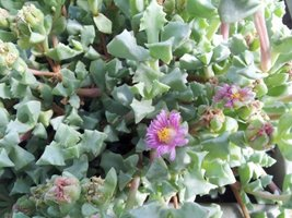 """Oscularia deltoides 'dew plant'- succulent plant in 2"""" pot (Pack of 1, 2 or 4) image 2"""