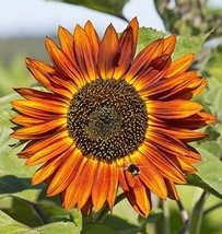 Non GMO Velvet Queen Sunflower Seeds (Helianthus annuus) (5 Lbs) - $168.25