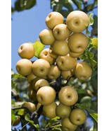 Asian Pear Cocktail Fruit Tree Self Pollinating Rare Hand Bud Grafted - $49.99