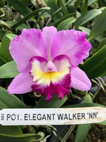 Pot Elegant Walker 'non' CATTLEYA Orchid Plant Pot BLOOMING SIZE 0408z