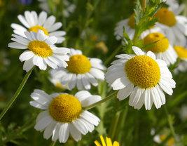 2000 Non GMO Chamomile Seeds Matricaria recutita - Daisy Sedative - Easy... - $4.99