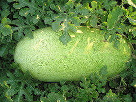 SHIPPED FROM US 100 Charleston Gray Watermelon Red Fruit Melon Seeds, LC03 - $15.00