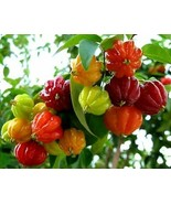 Eugenia Uniflora Seeds - special and exotic tree - 50 seeds - $23.99