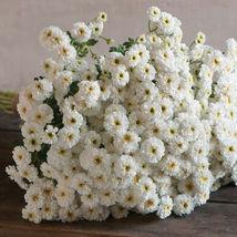 Tetra White Matricaria Seed / Tetra White Matricaria Flower Seeds - $21.00