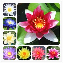 Aquatic Plants Flower Seeds Bowl Lotus Water Lilies Lotus Seeds 10 Pcs - $5.12