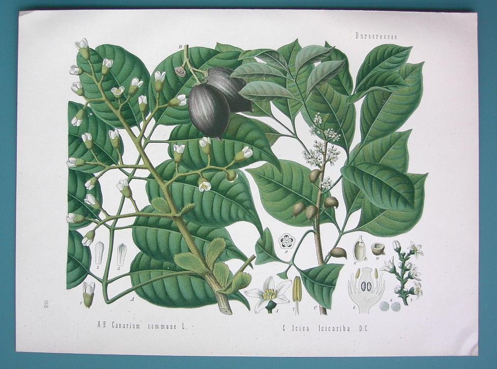 JAVA ALMOND Canarium Commune Medicinal Plant