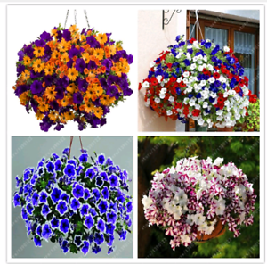 100pcs hanging petunia seeds melissa original flower seeds perennial flowers