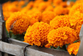 100Pcs Orange African Marigold French Marigold Herbs Tagetes Erecta Flow... - $5.12