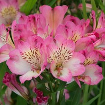 40 Pink White Alstroemeria Lily Seeds Flower Seed Peruvian Perennial - TTS - $23.95
