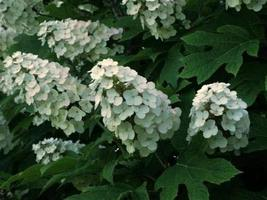 1 Packet of 50 Seeds Oakleaf Hydrangea/Cornales Hydrangeaceae/Hydrangea Quercifo - $10.65