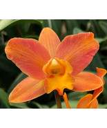 "4"" Pot. My Orange 'NN' CATTLEYA Orchid Plant Pot BLOOMING SIZE 0408k - $29.69"