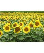 Non GMO Black Oil Sunflower Seeds (10 Lbs) - $124.69