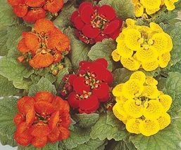 25 Seeds of Annual Seeds - Calceolaria Cinderella Mix  - $23.90