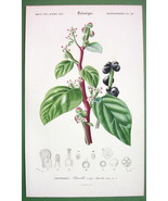 CLIMBING SPINACH Flower Plant Basella Rubra - SUPERB Botanical  H/C Colo... - $18.00
