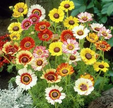 Tricolor Painted Daisy Mix 250 seeds Chrysanthemum carinatum Colorful Co... - $13.58