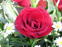 Rose flower,Digital download,Photo,Art,Poster,Background,Backdrop,Garden... - $5.00