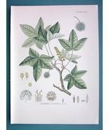 ORIENTAL SWEETGUM Liquidambar Orientalis Plant - Beautiful COLOR Botanic... - $26.01