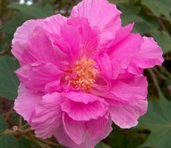 1 Gram seeds Confederate Rose Hibiscus (Double) Cotton Rose Seeds - $15.00