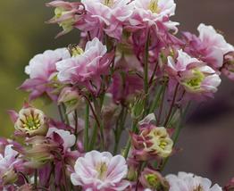 100pcs Pinkish Light Purple White Columbine Flower Seeds very adorable  - $14.35