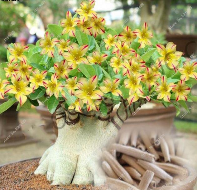 2 Rare 'Swaziland Princess' Sabi Star Gemini Desert Rose Yellow Adenium bonsai